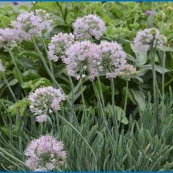 Allium-senescensBlue Eddy