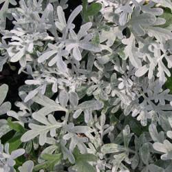 Artemisia-stel-Silver-Brocade-Pepiniere-Villeneuve
