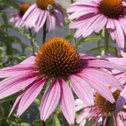 Echinacea-purpurea-Pepiniere-Villeneuve