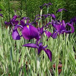 Iris-ensata-variegata-Pepiniere-Villeneuve