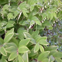 Polygonatum-variegatum-Pepiniere-Villeneuve
