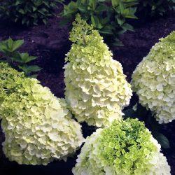 hydrangea pan-lavalamp-sublime AFFICHE